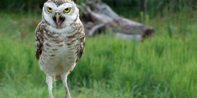 owl-774518_1280